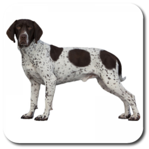 COA0037 - Old Danish Pointer